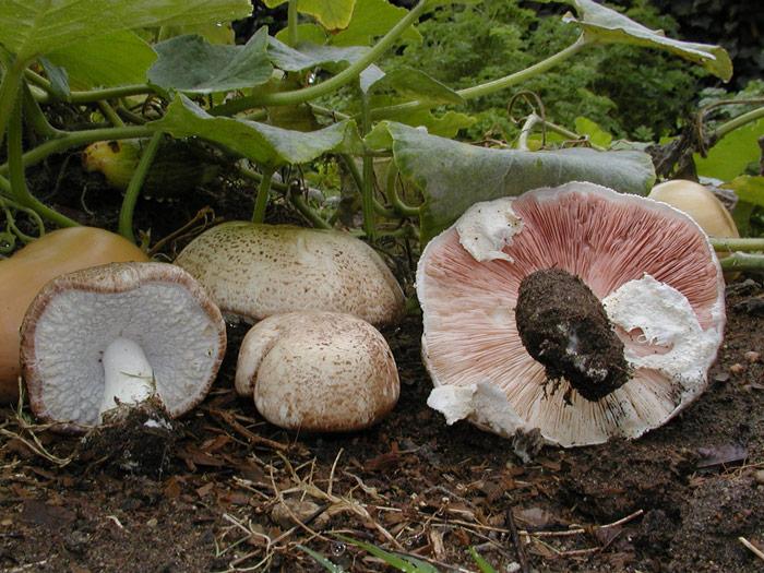 ljekovitost gljiva brazilski šampinjon (na slici)