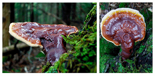 Ganoderma lucidum medicinal mushrooms against cancer (carcinoma, sarcoma, melanoma)