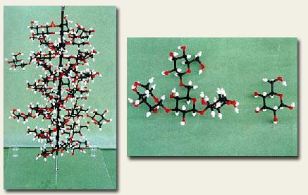 beta glukan model molekule