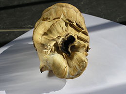 zdravilna goba Grifola frondosa maitake (velika zraščenka)