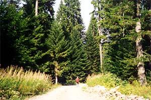 zdravilne gob v gozdu na Velebitu
