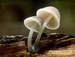 Medizinische Pilze gegen Neurodegenerative Erkrankungen, Alzheimer, Parkinson, MS (Multiple Sklerose) und verschiedene Demenzerkrankungen
