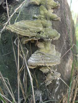 večina zdravilnih gob so olesenele gobe, iz katerih je treba napraviti ekstrakt