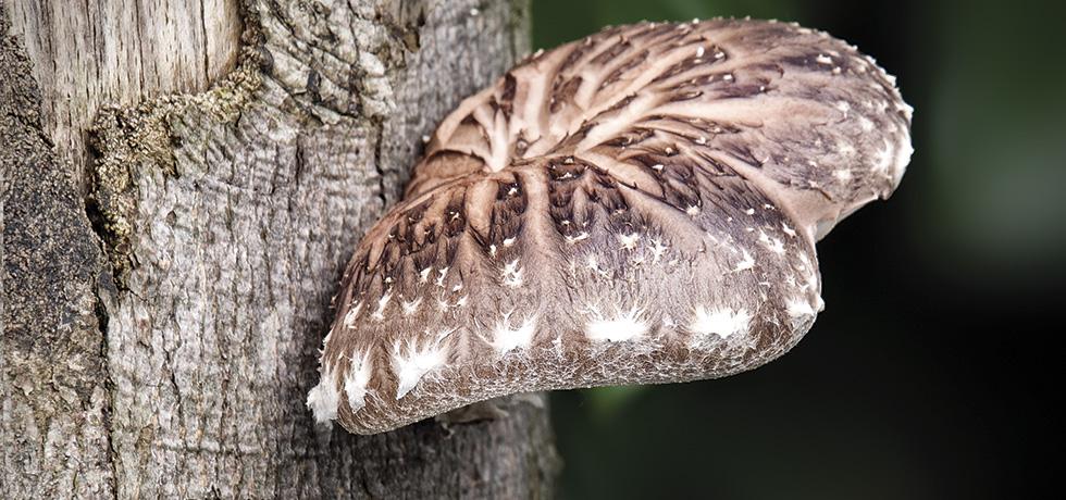 Ljekovita gljiva shiitake (Lentinus edodes)