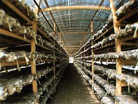 organski uzgoj ljekovitih gljiva Myko San - Zdravlje iz gljiva najkvalitetnije ljekovite gljive